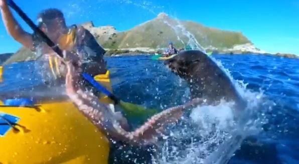 Видео, как тюлень врезал полицу мужчину осьминогом