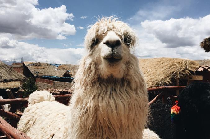 Лама позирует в Куско / Фото National Geographic