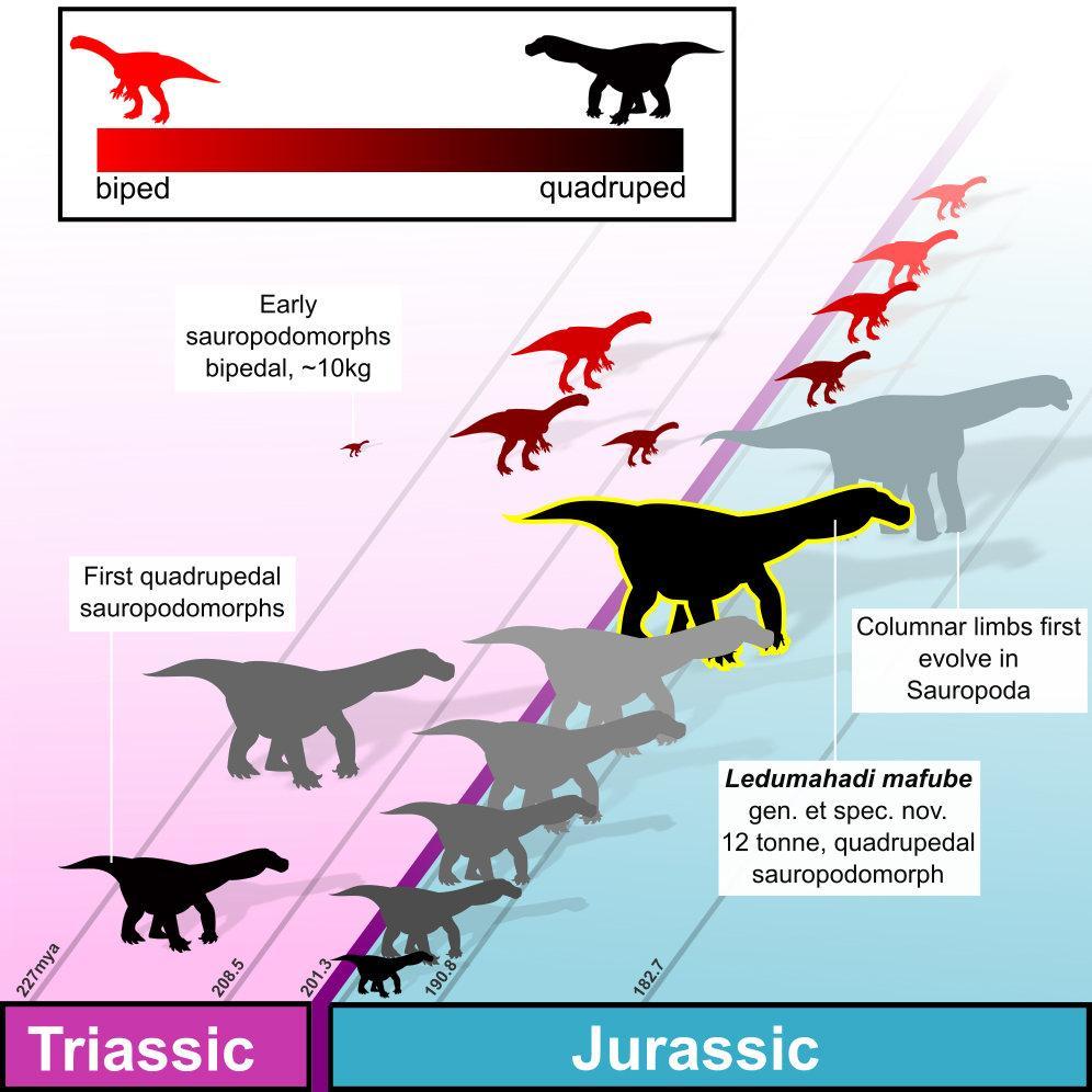 Ledumahadi mafube -один из первыхгигантских зауроподоподобных динозавров юрского периода/ фото Wits University