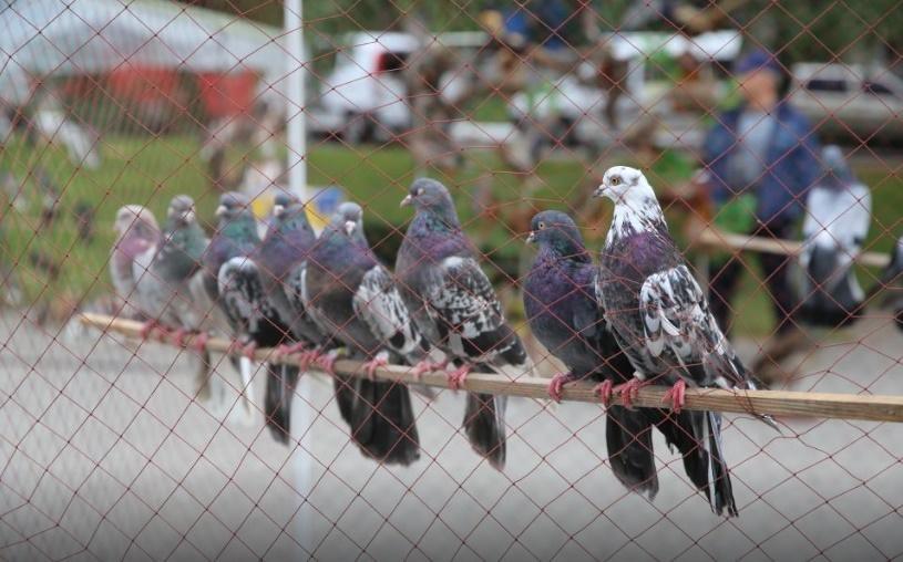 Международный фестиваль голубей / фото Геннадия Тертычного и пресс-службы городского совета Кременчуга