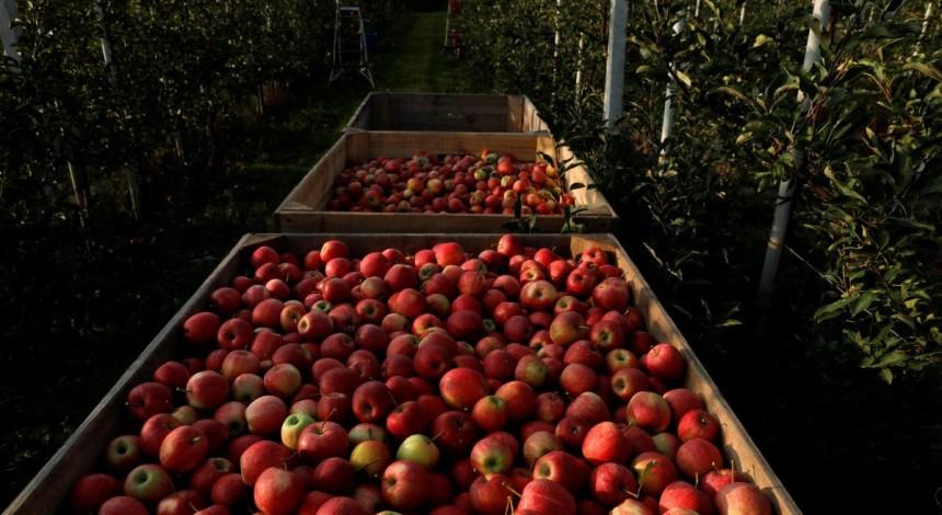 Україна оновила п'ятирічний рекорд з експорту яблук
