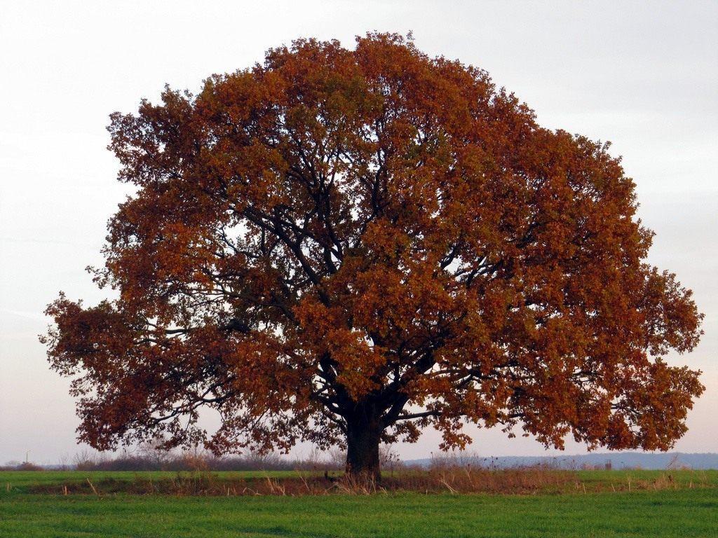 Минприроды будет инициировать повышение статуса трех древних «дубов Шевченко» \ Ботаничка.ги
