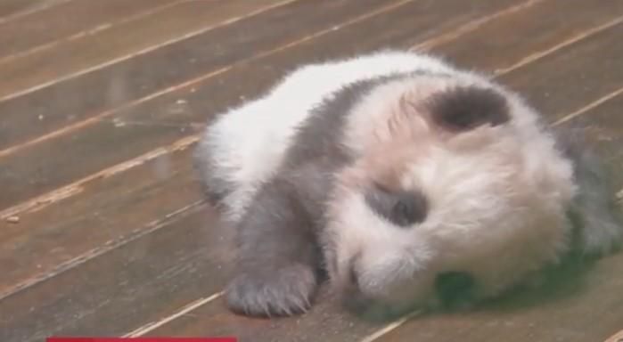 Народилися панденята у липні / скріншот відео ТСН