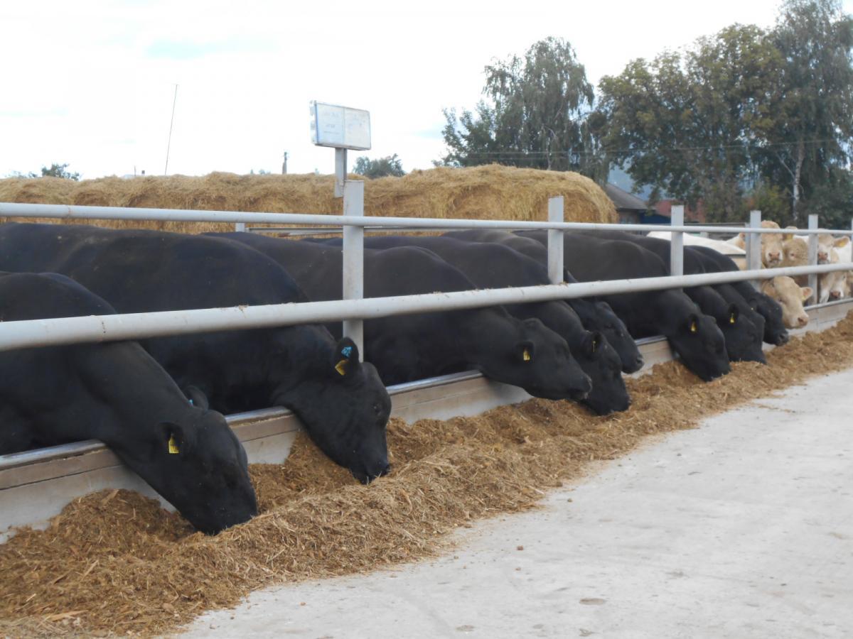 В планах агрохолдинга - до конца 2018 года реализовать более 3 тыс. кондиционных быков