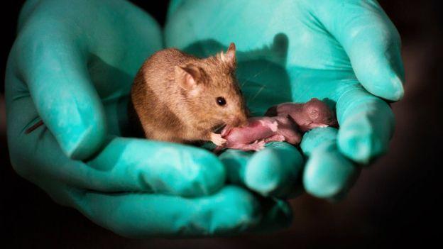У двух самок мышей родилось потомство, что дало надежду на генетический прорыв в будущем / фото Leyun Wang