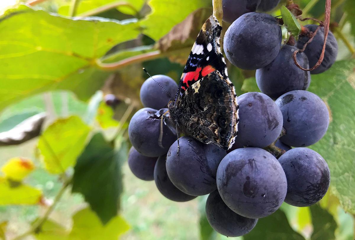 Кабмин определился с дотациями украинским виноградарям / REUTERS