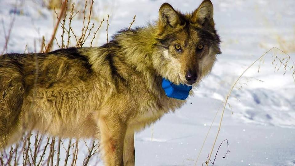 Волк-путешественник застрелен в Украине / фото vouk.by