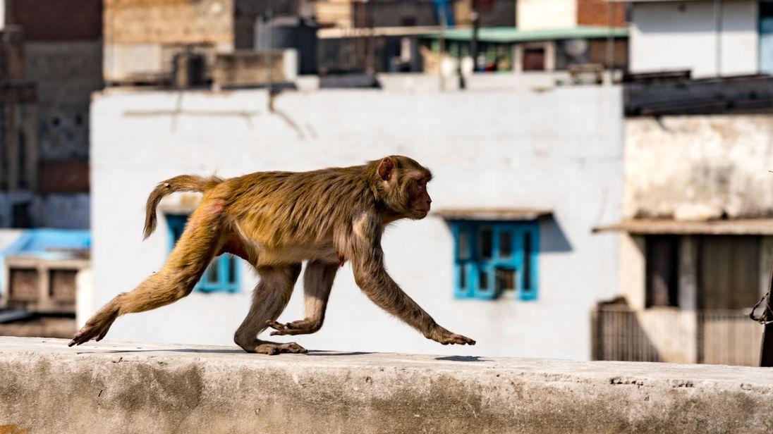 ВИндии обезьяны насмерть закидали мужчину камнями