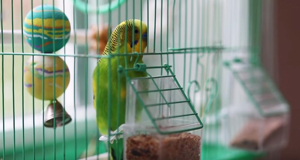 Волнистый попугай на Валааме научился Иисусовой молитве / foma.ru