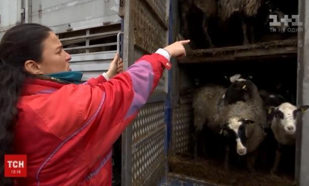 Голодающихв Черноморском порту овецнакормят и выпустят на прогулку / Скриншот - ТСН