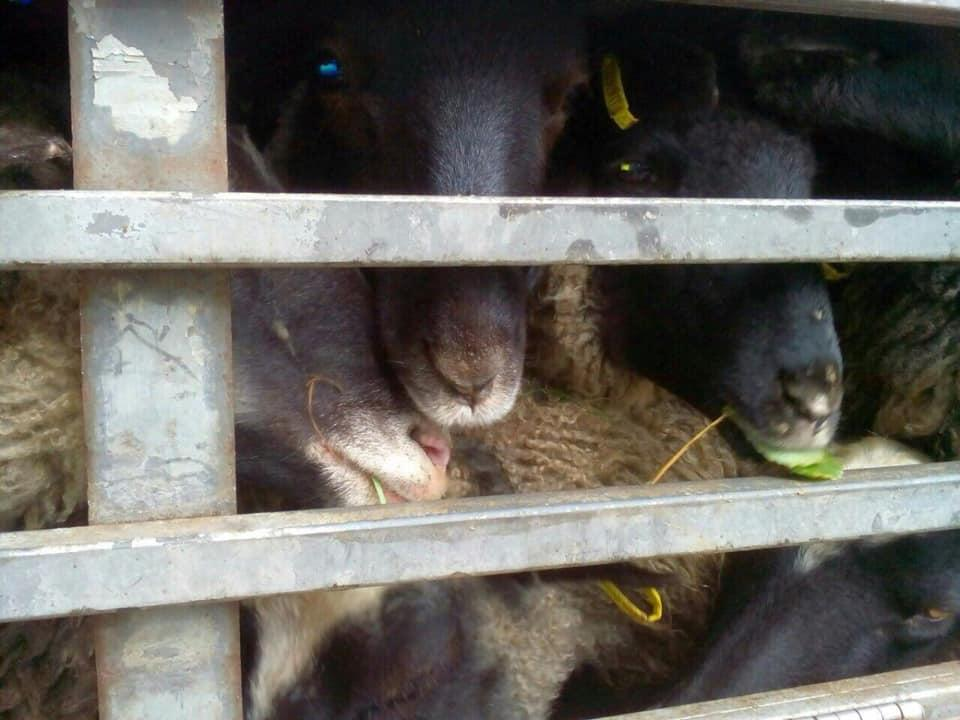 На Винничине разгрузили фуру с голодающими из-за бюрократии овцами / фото UAnimals