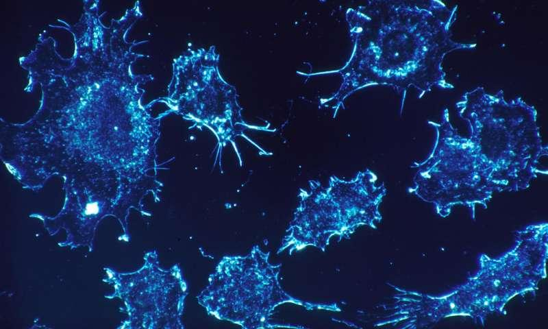 Лімфоцит знищував ракові клітини і не зачіпав здорові / фото medicalxpress.com