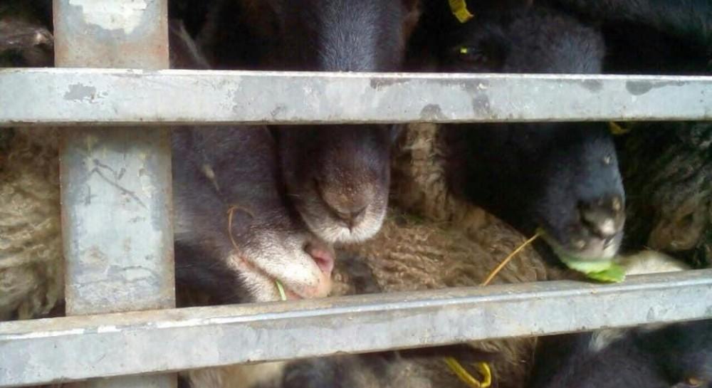 Госпотребслужба начала растаможивание овец, которые 2 недели пробыли в грузовике без еды и воды
