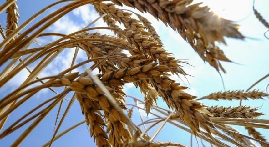 Цьогоріч на Тернопільщині очікується рекордний показник урожайності зерна