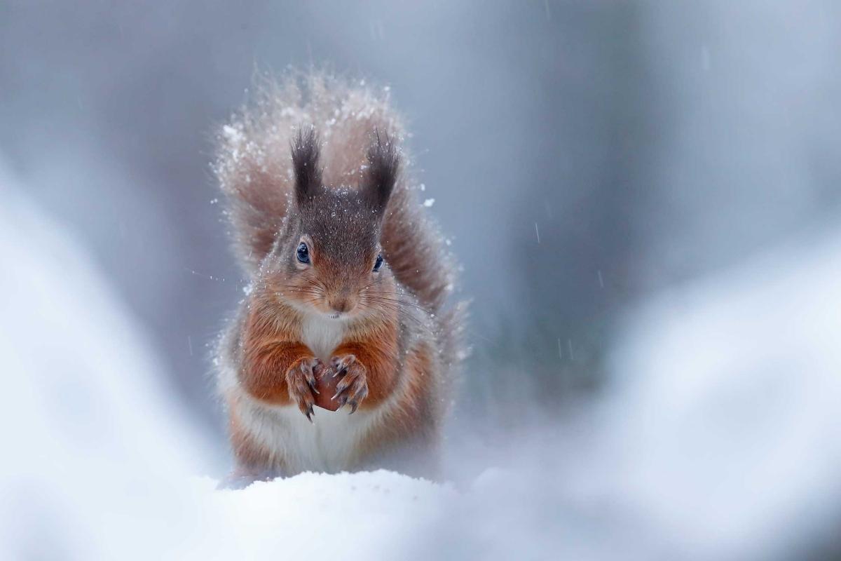 Ник МакИнтеир - Серия снимков с белкой в разные времена года \ фото British Wildlife Photography Awards