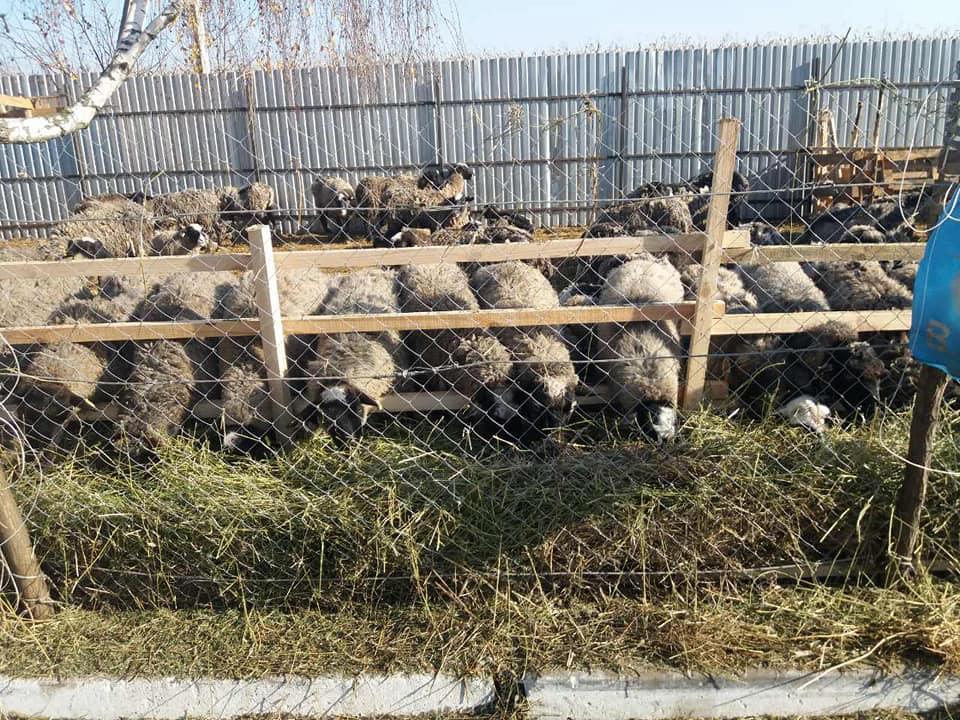 До Одеської області доставили врятованих овець / фото facebook.com/animalsosodessa