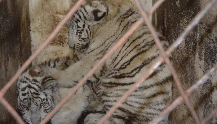 В маріупольський зоопарк привезли білих тигренят / фото mariupolrada.gov.ua
