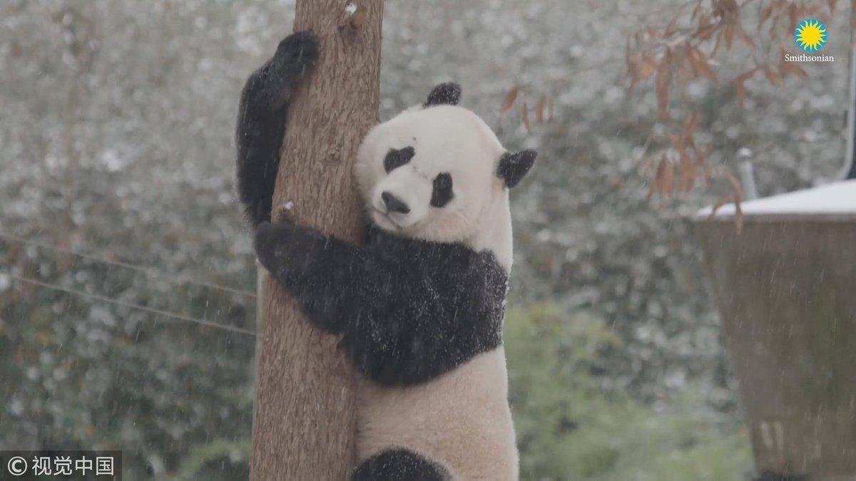 Панда Смитсоновского зоопарка дождалась снега/ Twitter, CGTN
