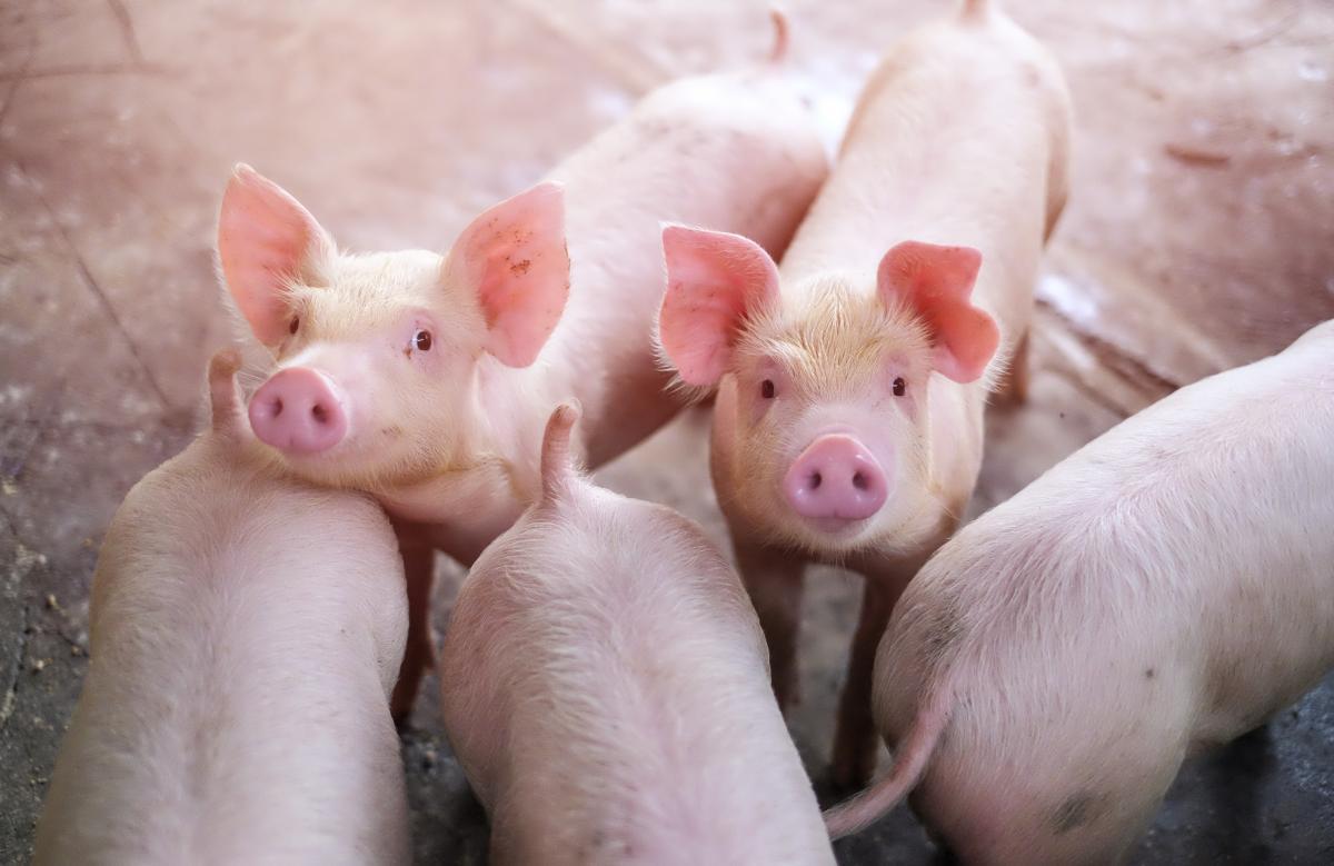 Укрлендфарминг реорганизует направление свиноводства / фото УНИАН
