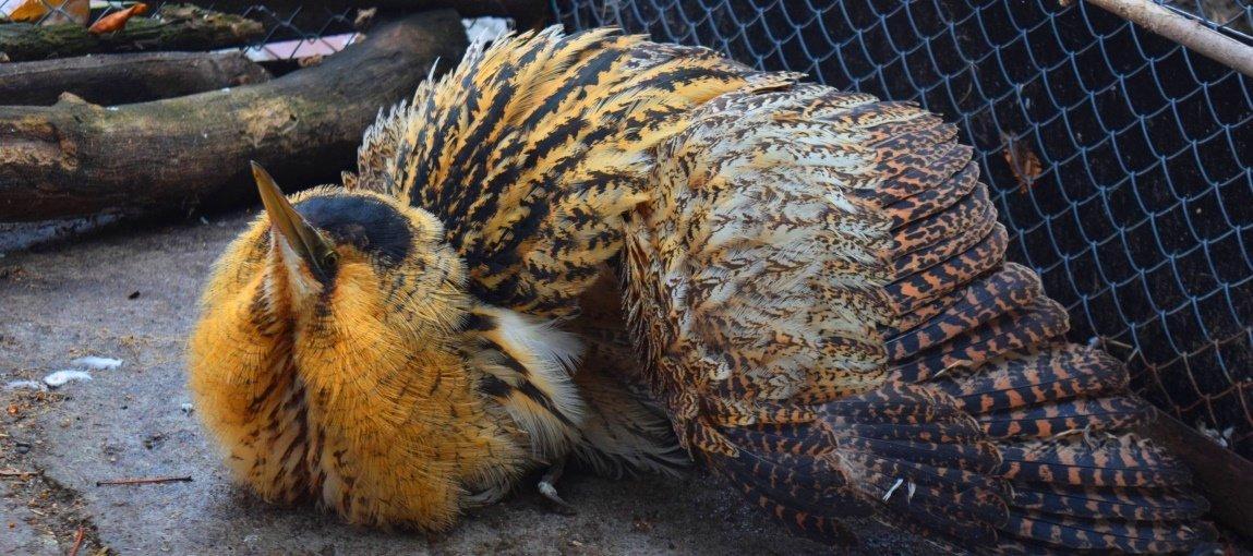 Випнамагавсяполетіти, але більше 10 м пролетіти не міг: очевидно, птиця була травмована \ 04868.com.ua
