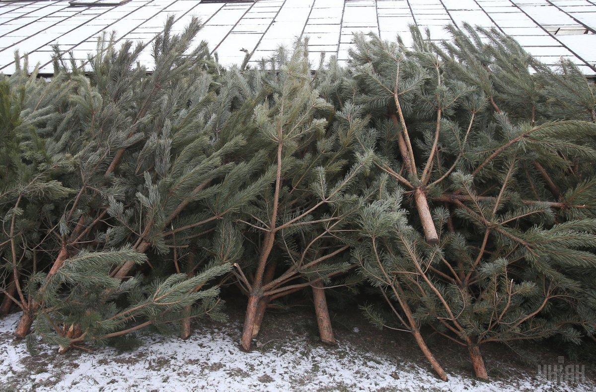 Коммунальные лесхозы начали реализацию новогодних елок / фото УНИАН