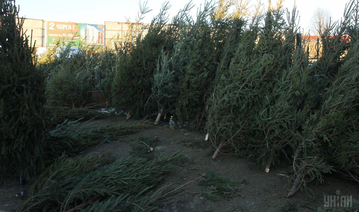 Заготовка елок производится по заявкам торговых организаций и потребителей / фото УНИАН