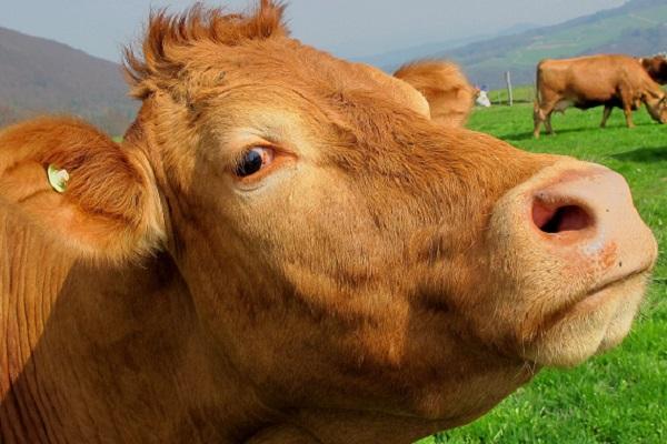 Мужчина сделал приют для коров / worldreligionnews.com
