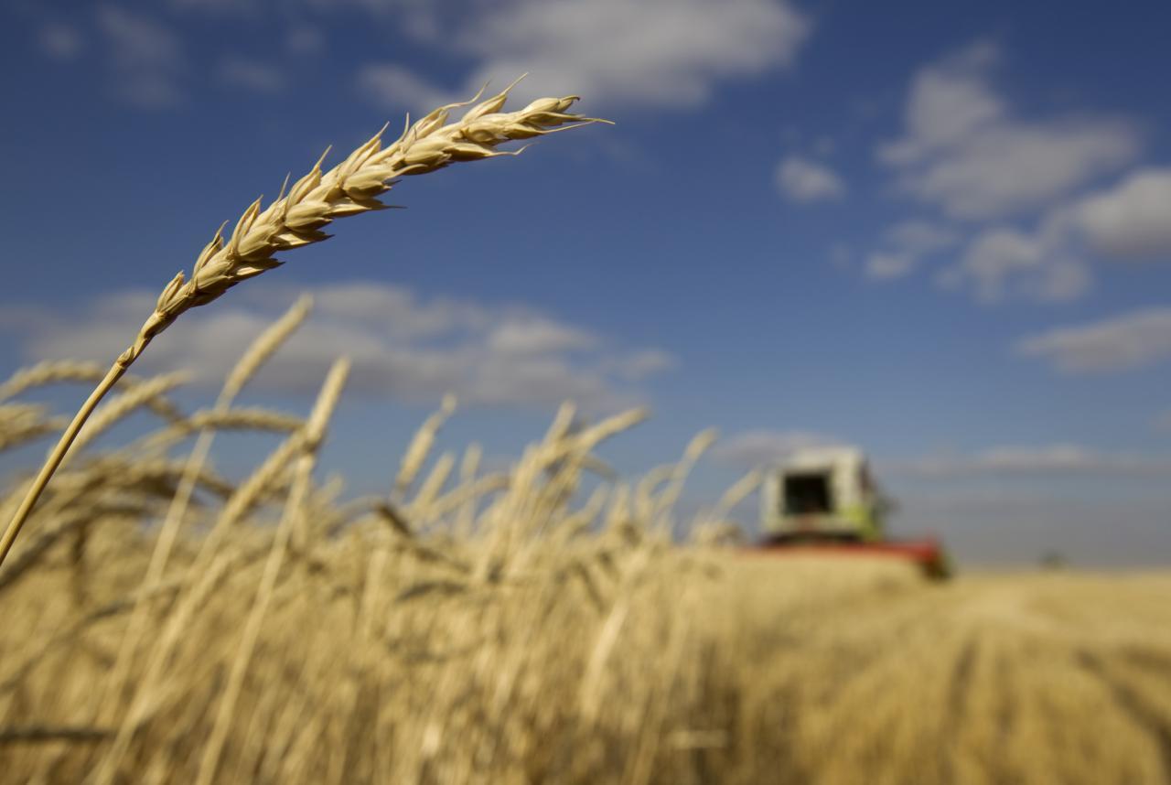 Согласно последнему прогнозу, урожай зерновых составит 68 миллионов тонн / REUTERS