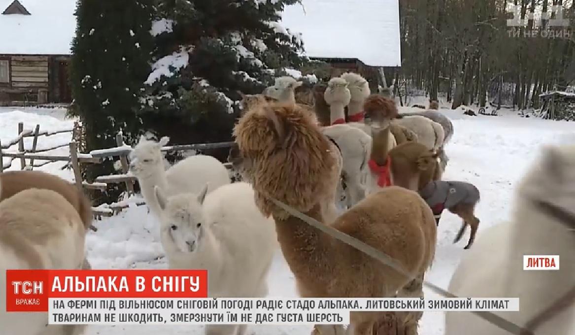 В Литве альпаки радуются снегу / Скриншот - ТСН