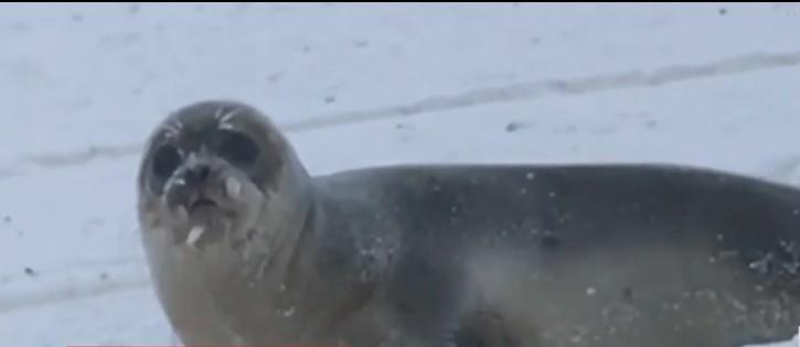 Тюлени ползают по улицам и дорогам, иногда блокируют проход к домам / скриншот видео ТСН
