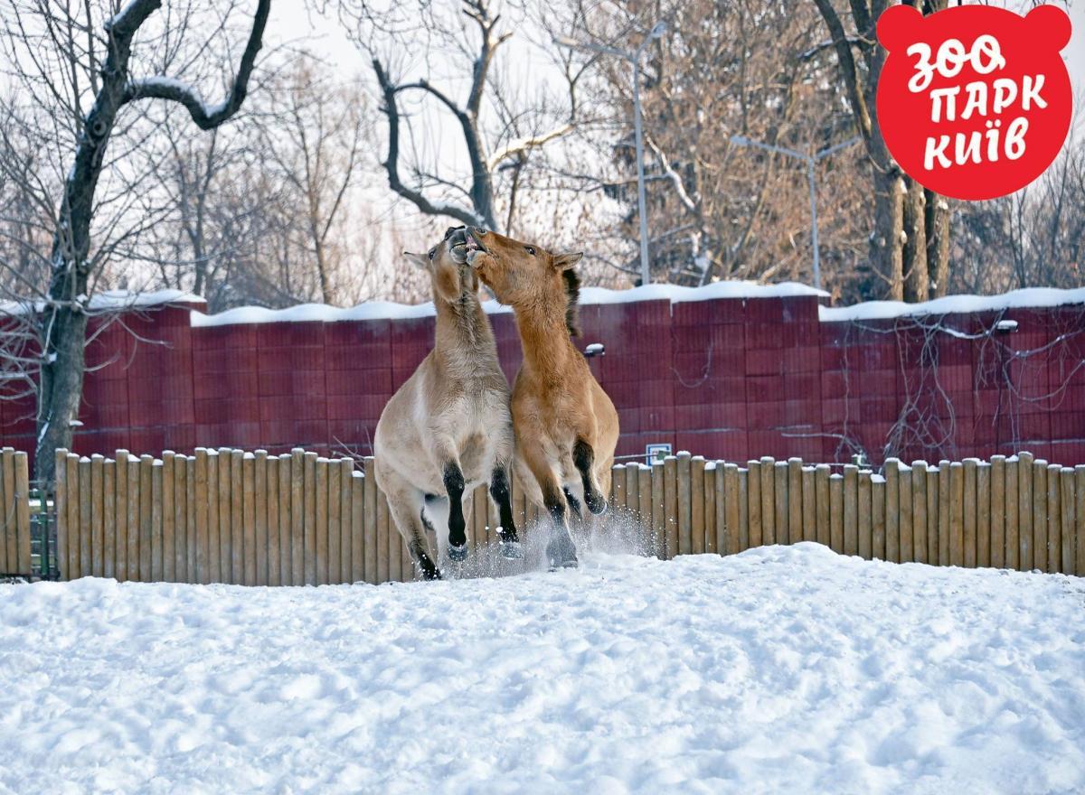 Лошади на снежных гонках / фото Киевский зоопарк/facebook