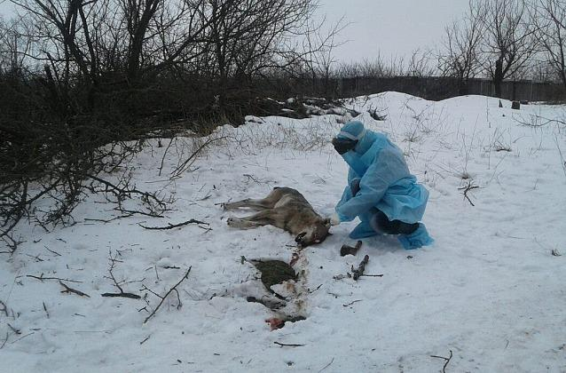 Місцеві жителі забили вовка палицями / фото pro.berdyansk.biz
