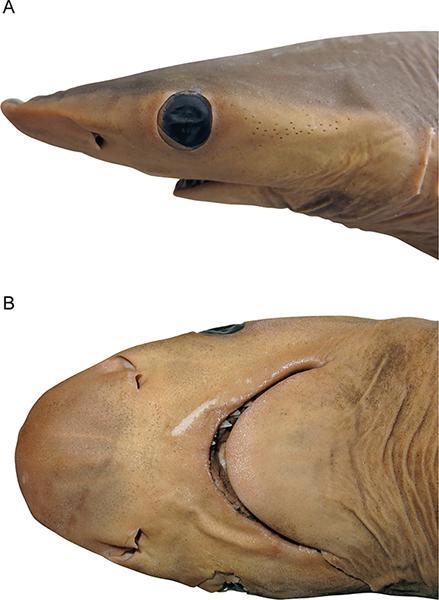 Голова самки Carcharhinus obsolerus