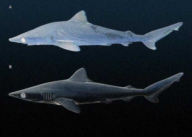 Ученые нашли в музеях новый вид акул / фото N+1