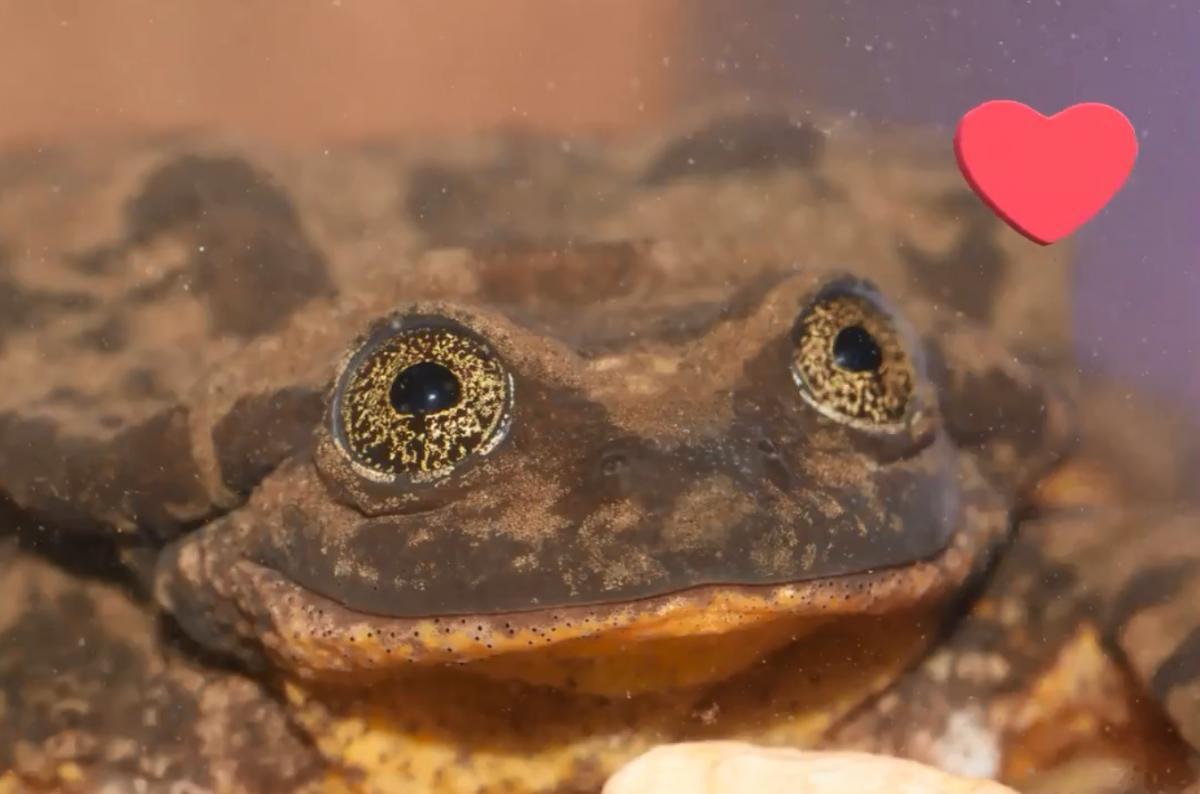Найсамотніша жаба в світі нарешті піде на побачення / Скріншот, Twitter - Romeo the world's Loneliest Frog (no longer!)