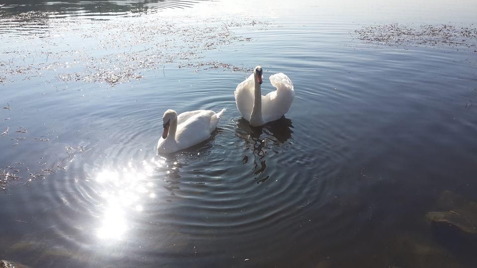 Иногда на ставок Слоница прилетают лебеди / Фото Марина Григоренко