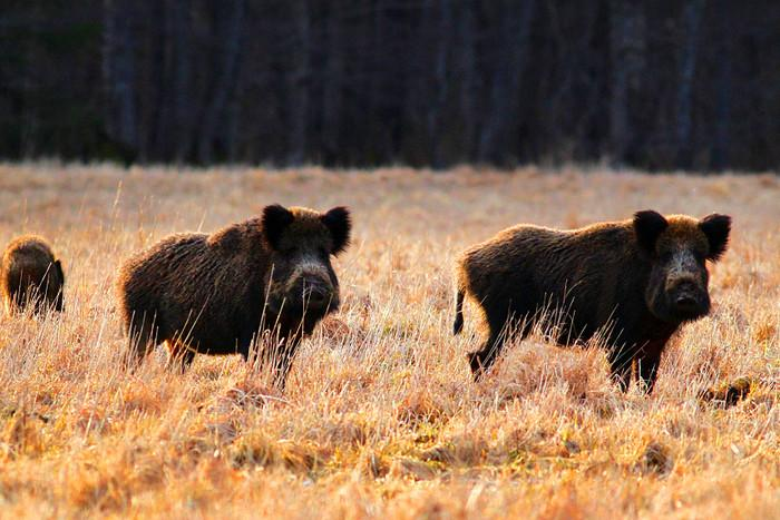 Данія хоче контролювати міграцію диких кабанів / фото baltictimes.com