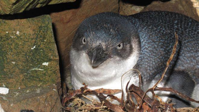 Голубые пингвины считаются самой маленькой породой пингвинов / фото BRENT TANDY/DOC