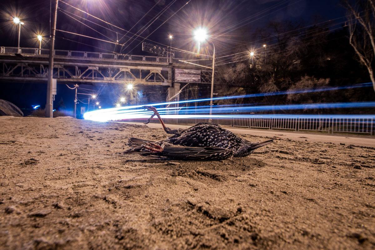 В Днепре на набережной обнаружили десятки мертвых скворцов / фото Александр Лаур / Информатор