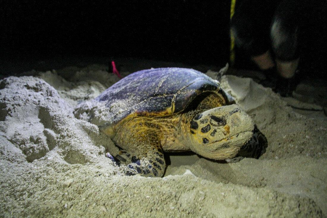 Фотография черепахи, гнездящейся вечером / фото WWF-Australia