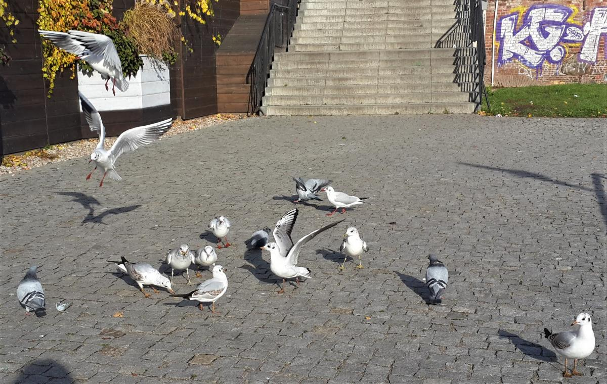 Гданьские чайки / Фото Марина Григоренко
