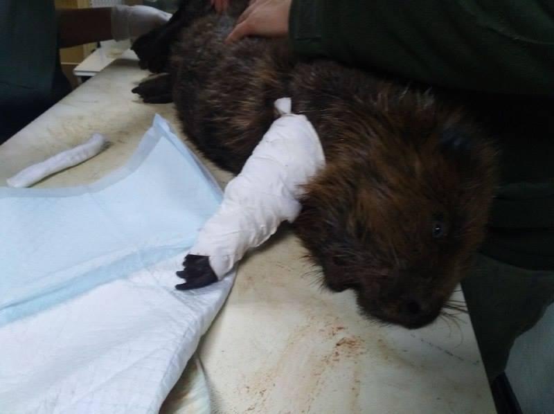 В Киеве спасли бобра, который едва не стал жертвой браконьера / Facebook - Kyiv Animal Rescue Group