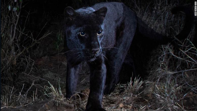 Розгледіти плямистий візерунок можна тільки на нічних і інфрачервоних зображеннях/ фото San Diego Zoo
