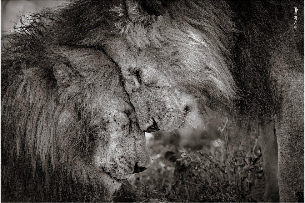 "Знімок отримав назву ""Братськийзв'язок"" \ facebook.com/WildlifePhotographerOfTheYear"
