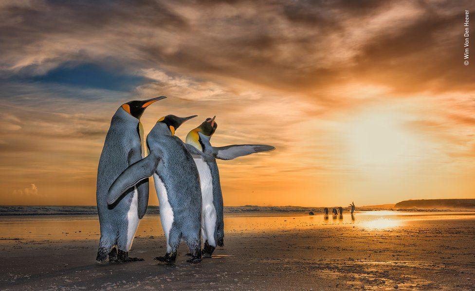 Рідкісний за красою знімок королівських пінгвінів \ Вім ван ден Хівер