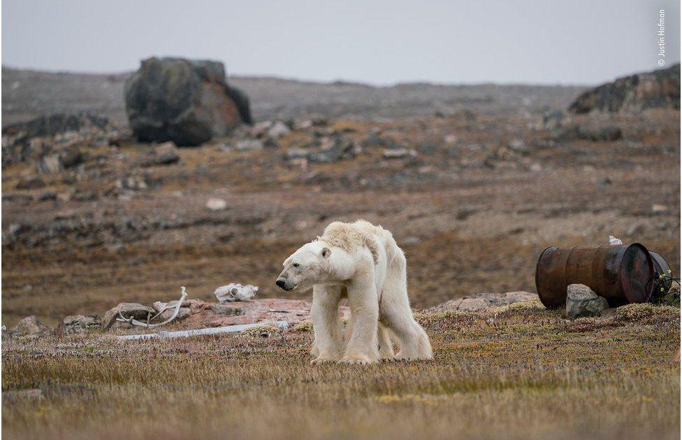 Виснажений білий ведмідь на півночі Канади \ Джастін Хофман