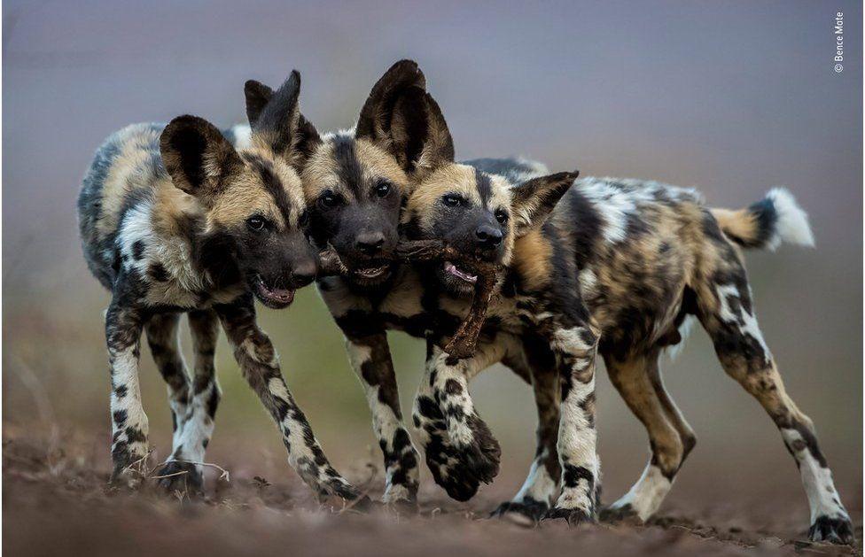 Африканські гієновидні собаки, які гризуться через здобич\ Бенсе Мате