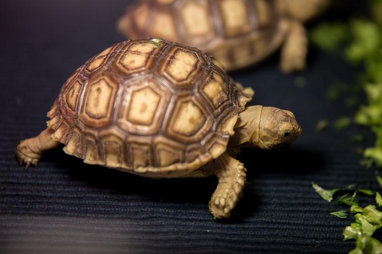 У Харкові вперше з'явилися на світ три шпороноснічерепахи / фото feldman-ecopark.com