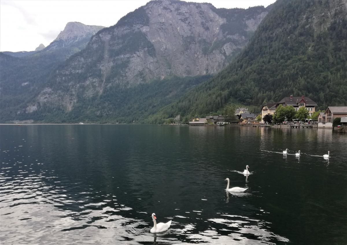 Лебеді на Гальштатському озері у Гальштаті / Фото Марина Григоренко