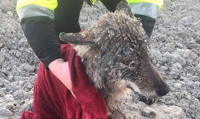 В Эстонии мужчины спасли собаку из заледеневшей реки. Оказалось, что это волк / Фото: Эстонская ассоциация защиты животных